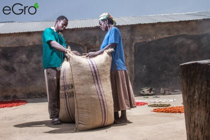 A farmer in Dar Salaam in Northern Ghana is bagging peanuts for eGro with his mother.