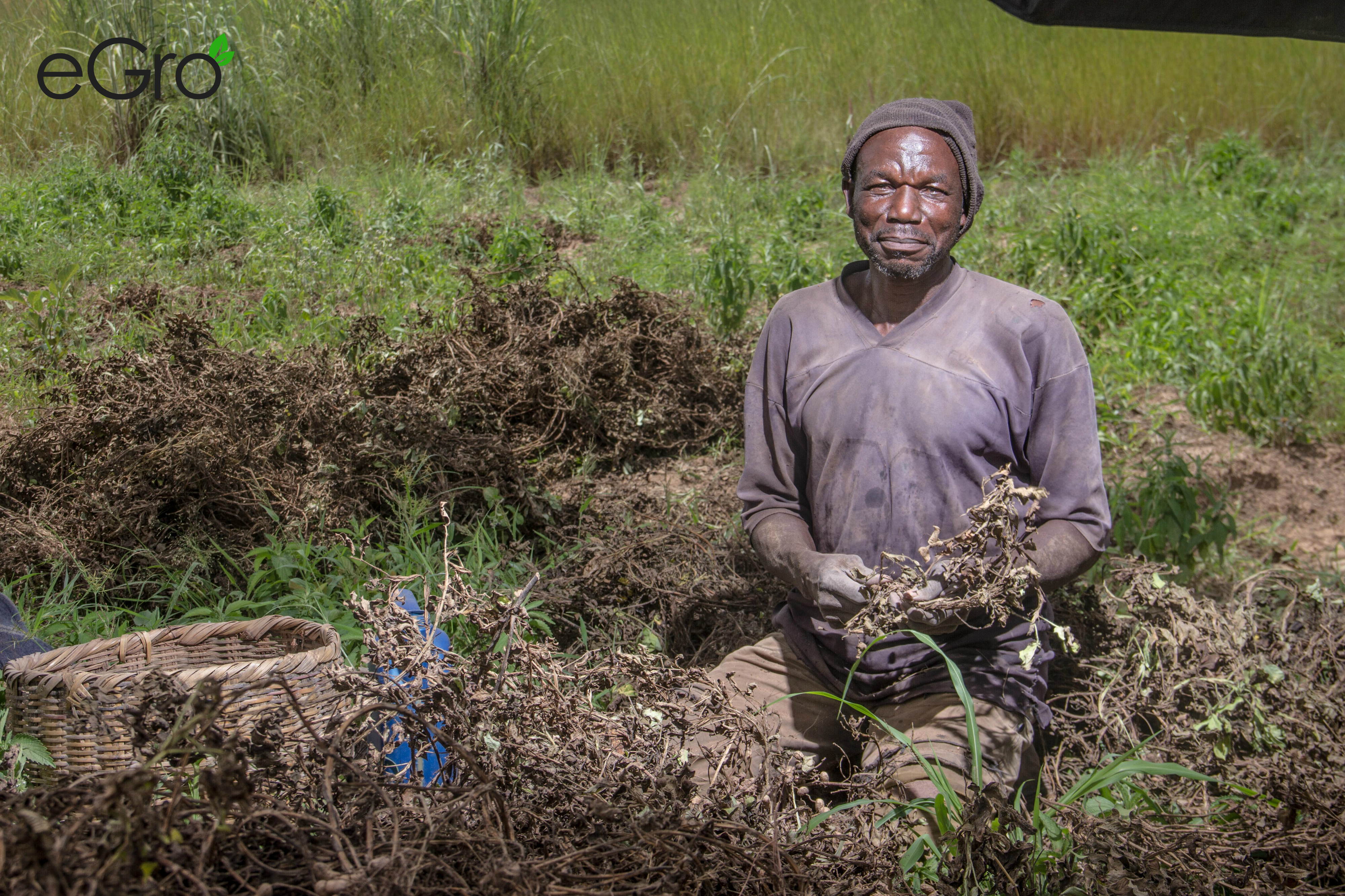 One of eGro´s farmers in his field digging out and picking the pods from the roots of the peanut plant.