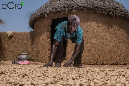 From Dar Salaam village in Northen Ghana. One of eGros farmers sorting out and drying his peanuts.